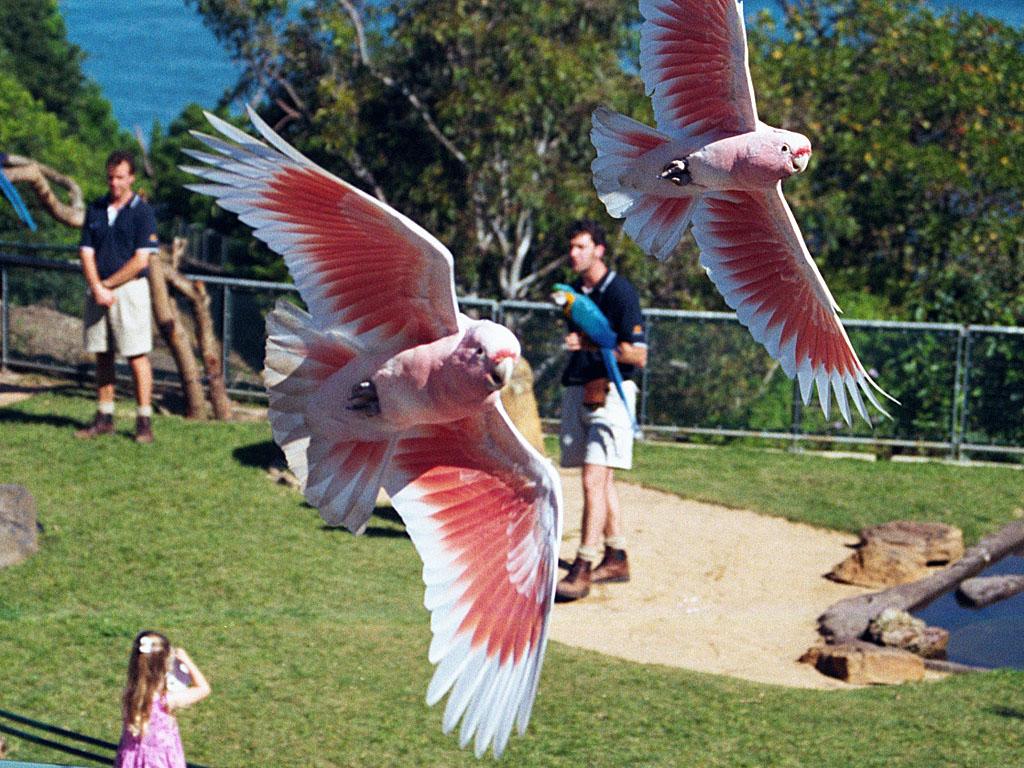major mitchell cockatoo birds flying photos