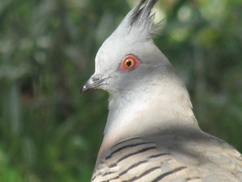 Crested Pigeon_20110328_007