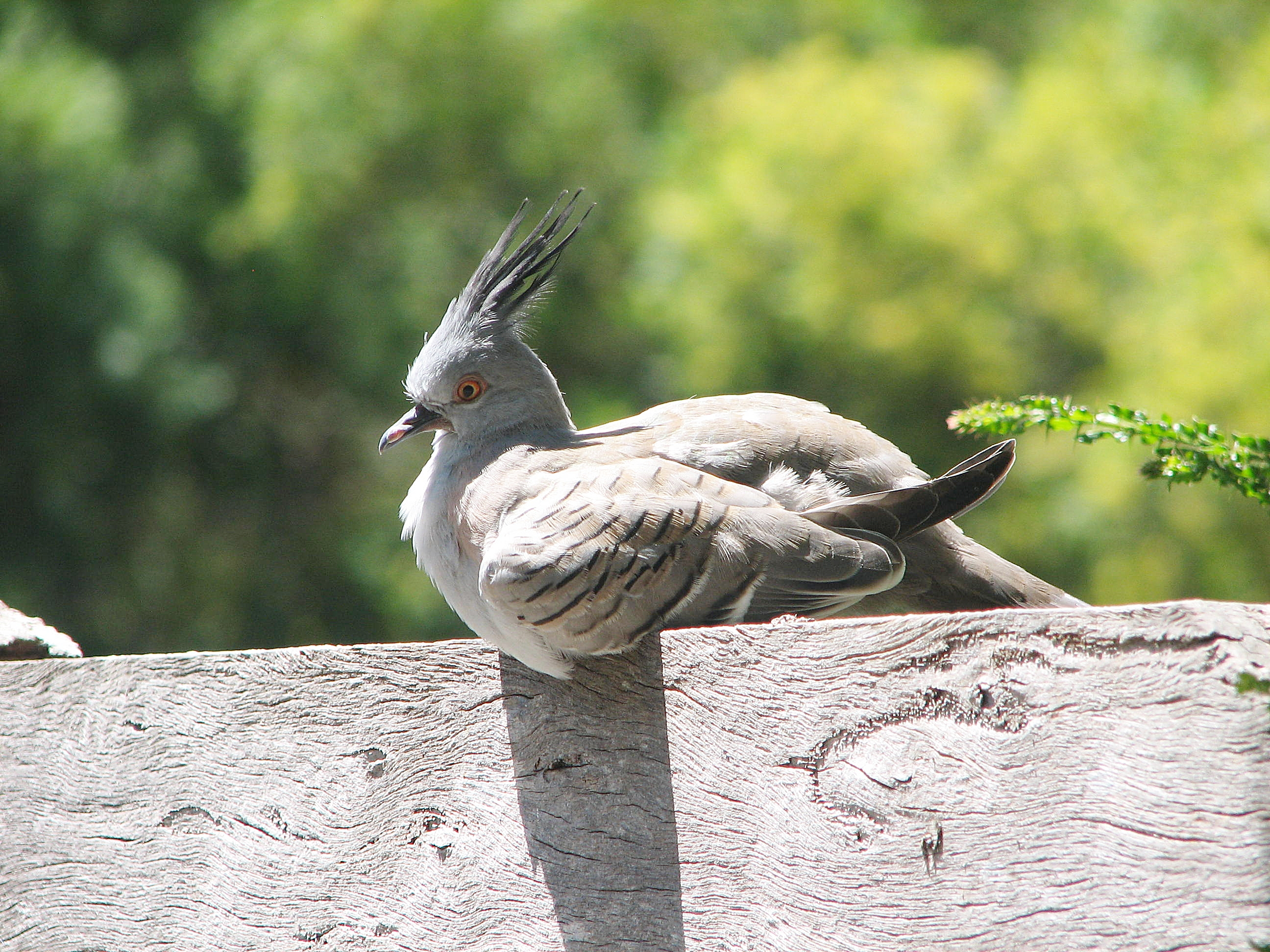 Crested Pigeons as pet birds - Trevor's Birding