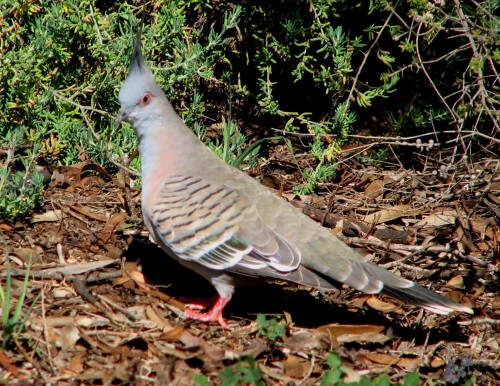 Pigeon, Crested 0344