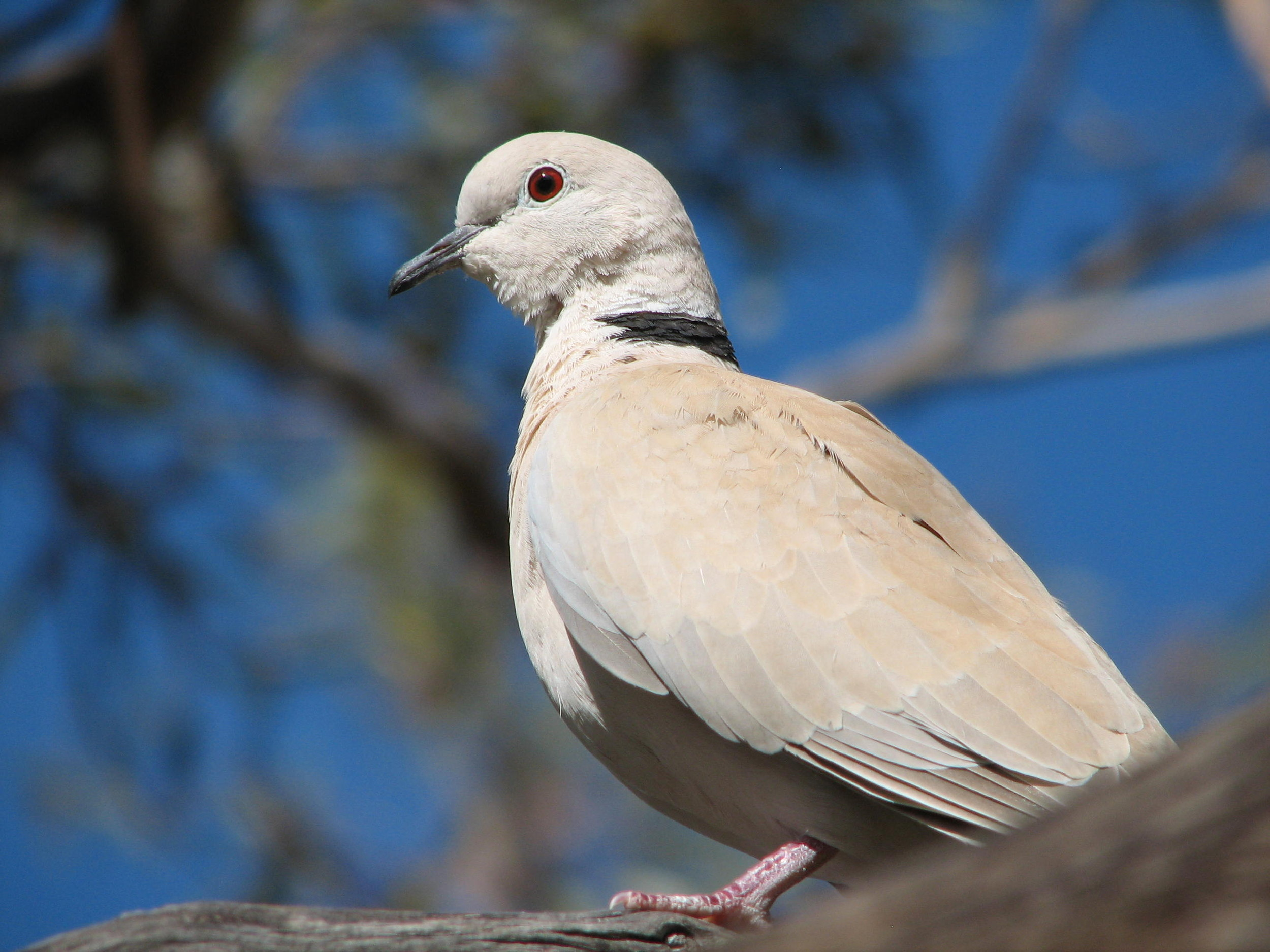 dove  birds
