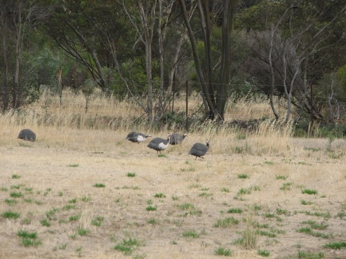 Our neighbour's Helmeted Guineafowl on our property