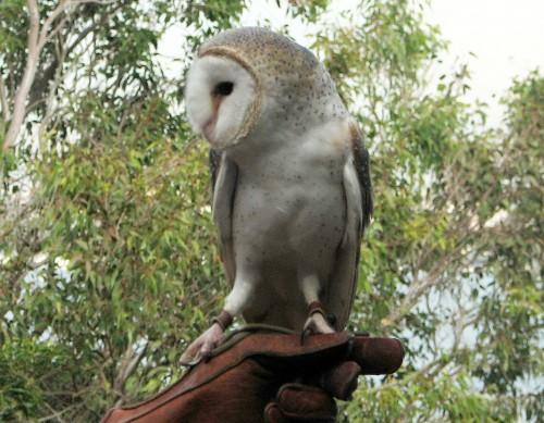 Barn Owl, Taronga Park Zoo, Sydney