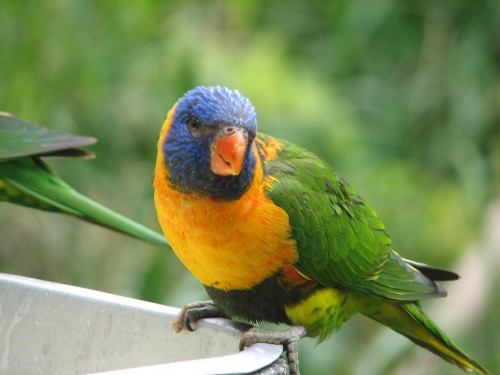 Red-collared Lorikeet at Adelaide Zoo
