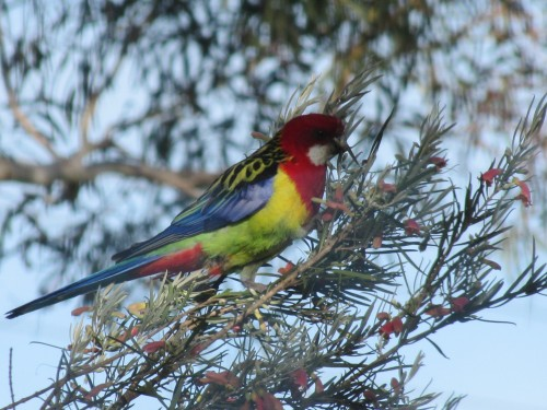 Eastern Rosella, Murray Bridge