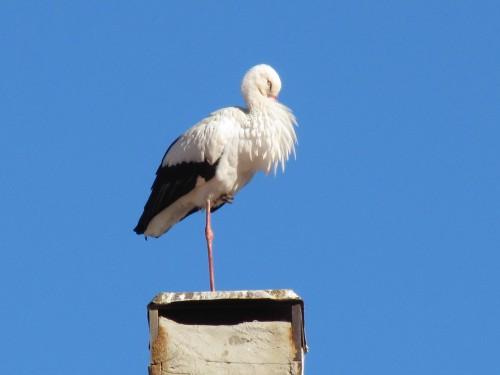 White Stork, Morocco