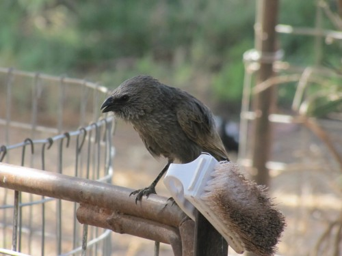 Apostlebird at Taplan, Murray Mallee, South Australia