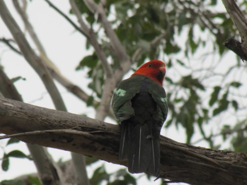 King Parrot at Mt Annan Botanic Gardens Sydney