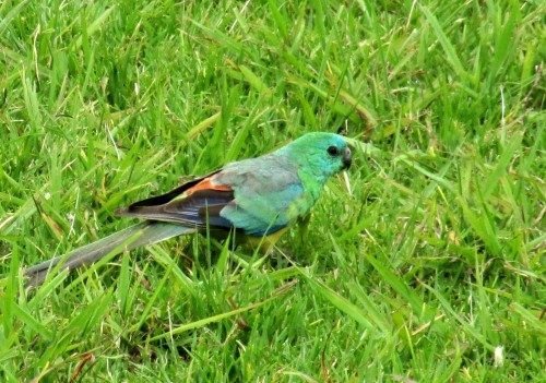 Red Rumped Parrot (Male)