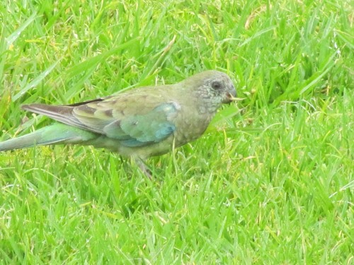 Red Rumped Parrot (female)