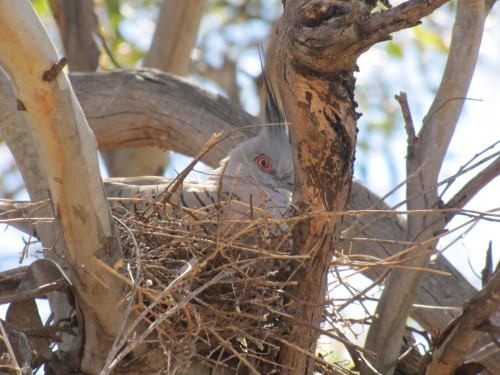Crested Pigeon on its nest