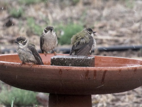 Brown-headed Honeyeaters enjoying a bath