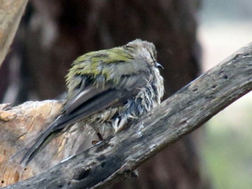 Brown-headed Honeyeater after enjoying a bath