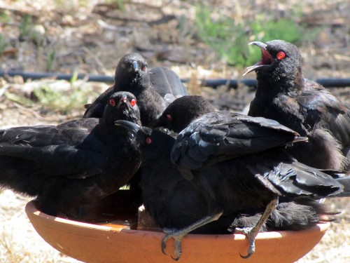 White-winged choughs