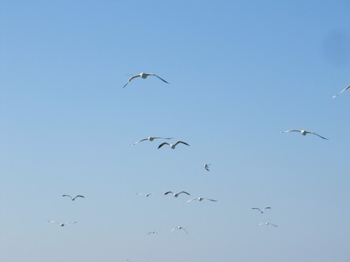 Silver Gulls following the boat