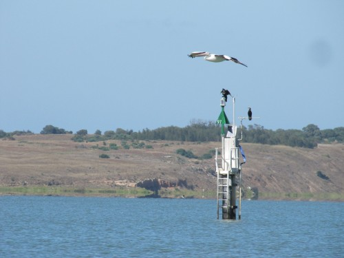 Australian Pelican soaring over Lake Alexandrina