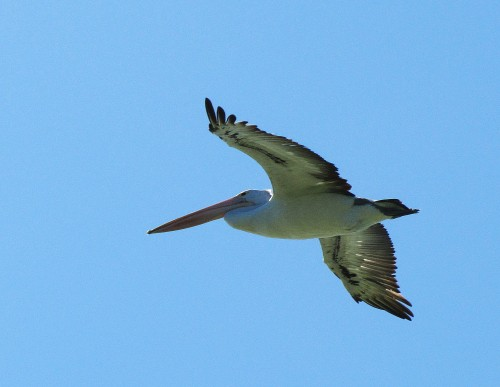 Australian Pelican in flight