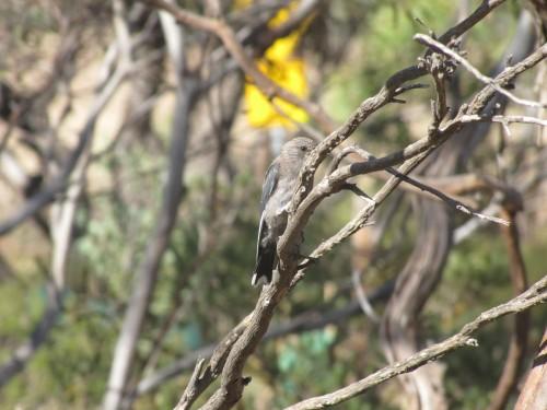Juvenile Dusky Woodswallow