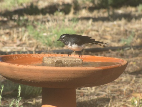 Willie wagtail at our birdbath