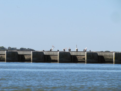 Pelicans on the Barrages at Goolwa