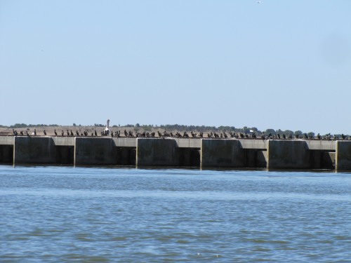 Cormorants on the Barrages at Goolwa