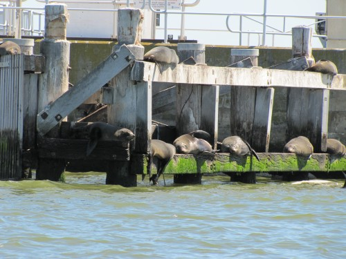 Australian Sea Lions on the barrage.