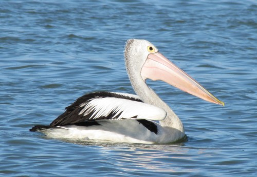 Australian Pelican, Narrung, South Australia