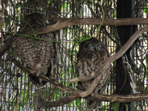 Southern Boobook owls at Australian Reptile Park