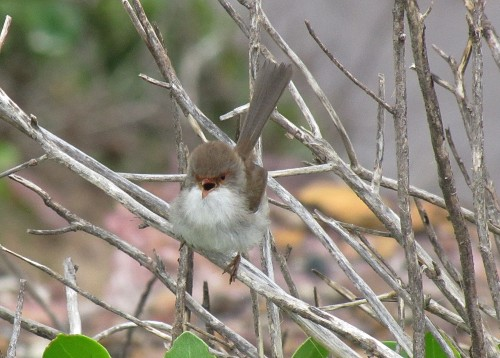 Female Variegated Fairy-wren