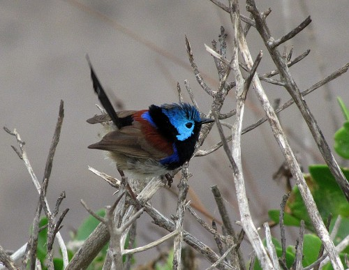 Male Variegated Fairy-wren
