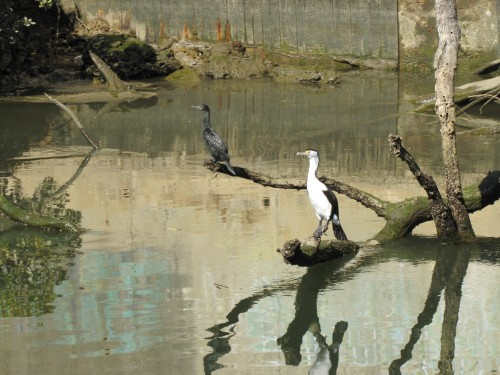 Little Black Cormorant and a Pied Cormorant on the river