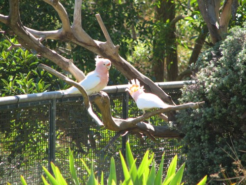 Major Mitchell Cockatoos at Taronga Park Zoo, Sydney