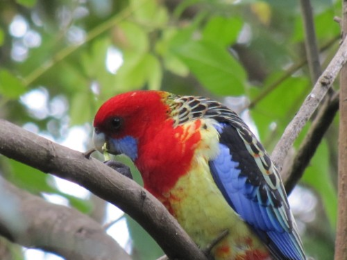 Eastern Rosella, Lane Cove National Park