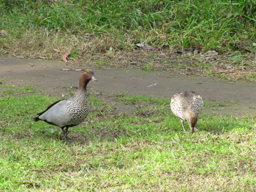Australian Wood Ducks - male (L) and female (R)