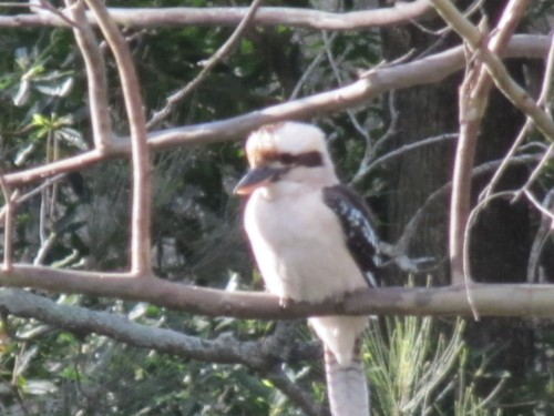 Laughing Kookaburra, Lane Cove National Park