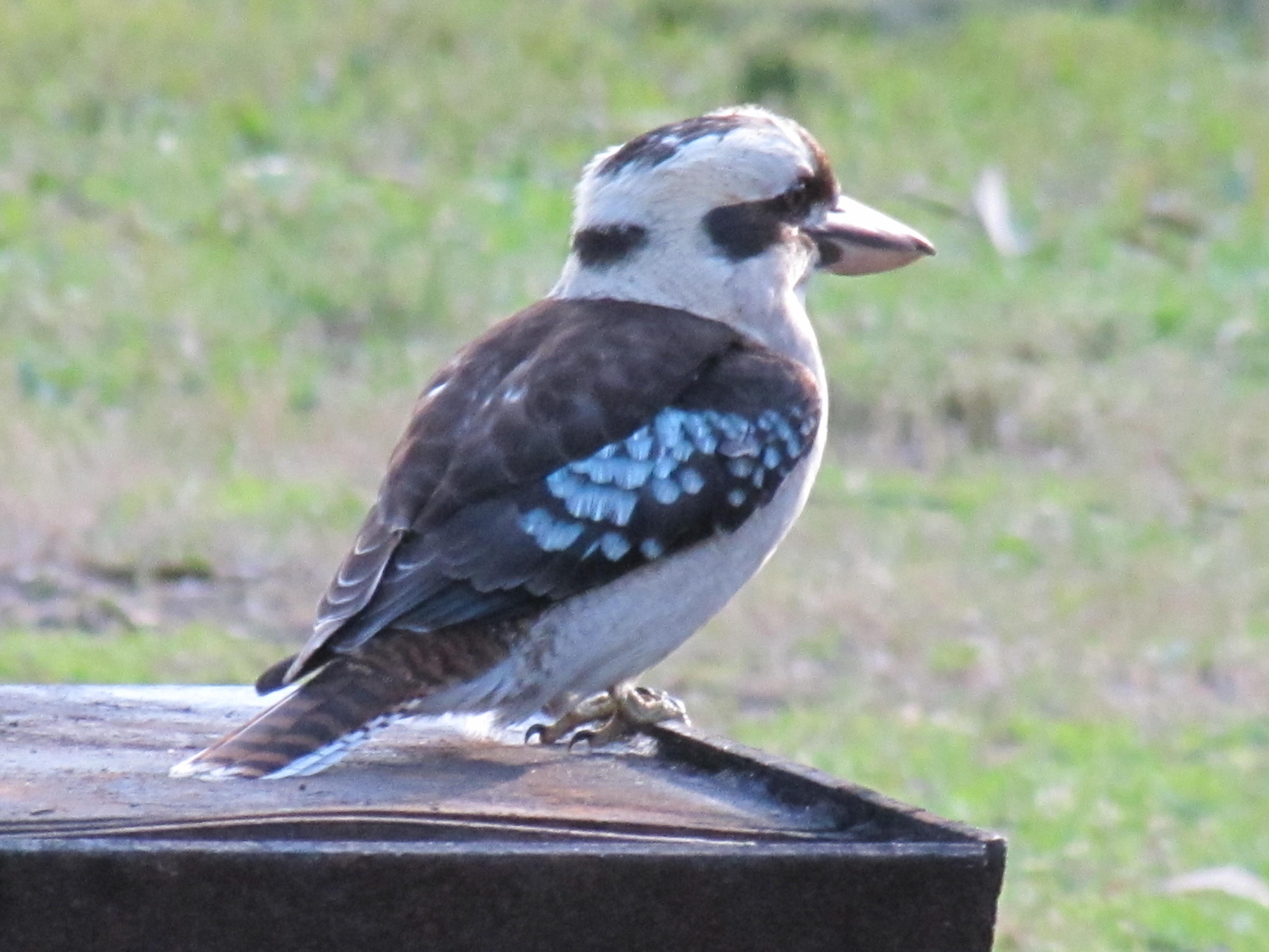 Kingfishers Archives - Page 2 of 4 - Trevor s Birding - Trevor s Birding ddea4555177d