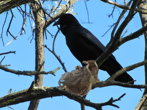 Australian Raven with paper bag containing food