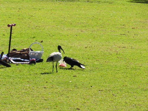 Australian Raven eating human food - observed by a White Ibis