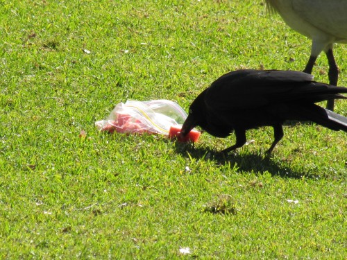 Australian Raven stealing someone's picnic lunch