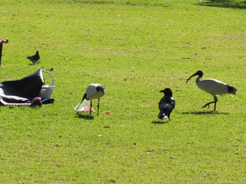 An ibis takes over eating the food taken by the raven