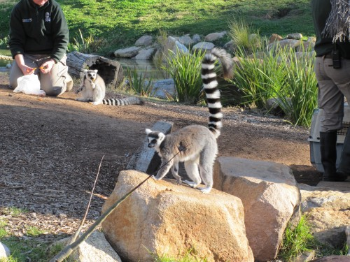 Ring-tailed Lemur, Western Plains Zoo, Dubbo