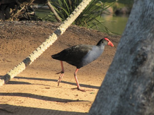 Purple Swamphen, Western Plains Zoo, Dubbo