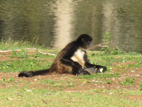 Black-handed Spider-monkey, Western Plains Zoo, Dubbo