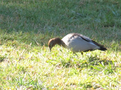 Australian Wood Duck, Western Plains Zoo, Dubbo