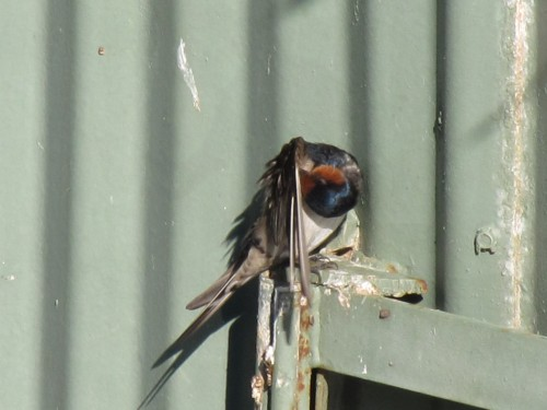 Welcome Swallow, Western Plains Zoo, Dubbo