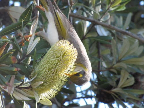 Yellow-throated Miner feeding on a banksia flower