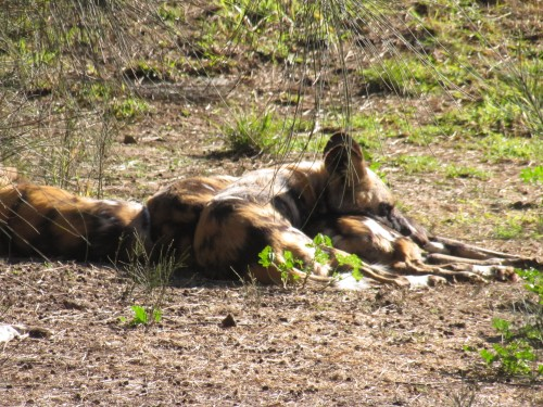 African Wild Dog, Western Plains Zoo, Dubbo
