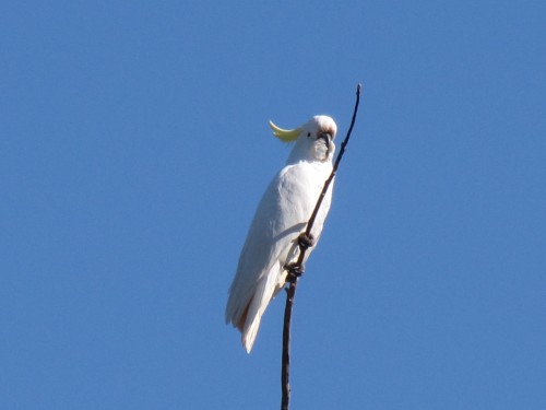 Sulphur-crested Cockatoo, Western Plains Zoo, Dubbo