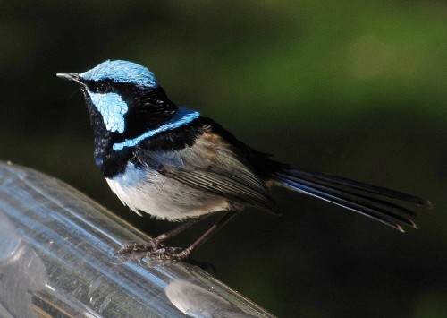 Male Superb Fairy-wren