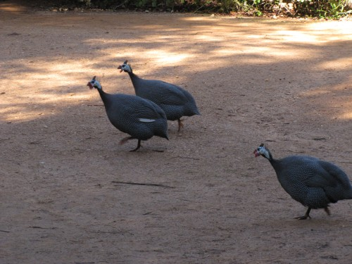 Helmeted Guineafowl, Western Plains Zoo, Dubbo